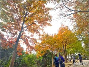 賞紅葉季節 元朗大欖郊野公園楓香林轉紅 - 元朗屋網 28YuenLong.com